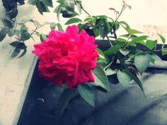 @MoodyDandeLion: Bisa liat mawar dikebun sendiri merah merekah kayak gini itu #BikinHidupSehidupnya deeh
