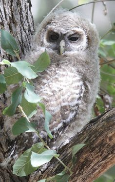 Spotted Owl (juvenile)
