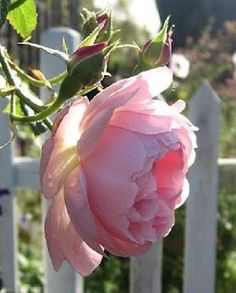 What a great picture of a beautiful pink Peonie...