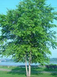 tree ref