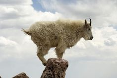 Mountain Goats, Mountain Goat Pictures, Mountain Goat Facts ...                                                                                                                                                                                 More