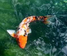 want a koi pond again.