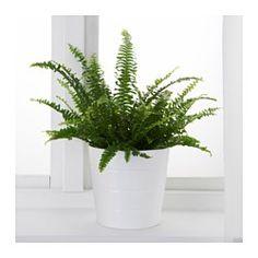 NEPHROLEPIS Plante en pot, fougère de boston - IKEA