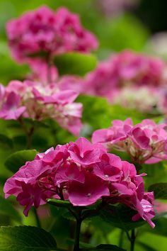 By Julie Christensen Lovely, old-fashioned hydrangeas, the mavens of the South, deserve a place in every garden. They have a reputation for being difficult to grow, but nothing could be further fro…