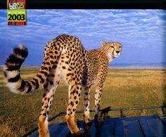 """Kikay the Cheetah """"Big Cat Diary"""""""