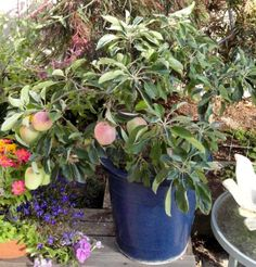 Pacific Groves Ultra Dwarf Anna Apple · Patio Fruit TreesPotted ...