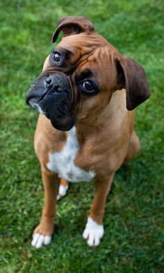 pet photography melbourne #boxer Love  dogs? So do we! Listen to The Rover Report Podcast with celebrity dog trainer Inger Martens: http://podcastone.com/program?action=viewProgram&programID=543 #DogPhotography #PetPhotography