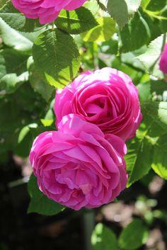 'Louise Odier' | Bourbon rose. Bred by Jacques-Julien, Jules Margottin Père & Fils (France, 1851). | Flickr - © Lilja Sirpale