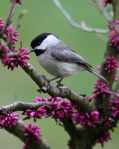 Black-capped Chickadee - Summer or winter, these friendly little birds are always around!