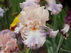 Irys bródkowy / Iris barbata 'Berry Blush'