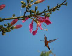 Colibri Canelo. Cinnamon Hummingbird. Fotografia de Liliana Santos Virgen.  Colima, Col. Mexico. #Colima #birds #birdwatching #avesdecolima