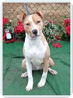 Marietta, GA - American Pit Bull Terrier Mix. Meet KIKO, a dog for adoption. http://www.adoptapet.com/pet/12148601-marietta-georgia-american-pit-bull-terrier-mix