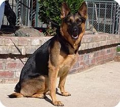 Pictures of Cassie a German Shepherd Dog for adoption in Lathrop, CA who needs a loving home.