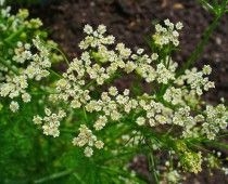 Learn everything you need to know about Caraway Seeds! This post includes medicinal benefits, culinary uses, and how to grow info on Caraway Seeds. Plus bonus recipes! Garden Seeds, Herb Seeds, Herbs, Plants, Dry Plants, Vegetable Seed, Caraway Seeds, Medicinal Plants, Perennial Herbs