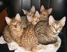 Ocicat - The original Ocicat was the unexpected result of an experimental breeding in the USA over 40 years between an Abyssinian and a Siamese.  The addition of the American shorthair to the original breed mix has provided genetic diversity giving us the beautiful and robust Ocicat.