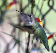 Anna's Hummingbird - Click image to view larger!