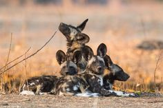 Celebrating African wildlife with a great gallery of adorably cute wild baby animals – this time along with their siblings! Safari Animals, Animals And Pets, Baby Animals, Cute Animals, African Wild Dog, African Safari, Wild Animals Photos, Animal Species, Wild Dogs