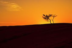 A sunset silhouette of a solitary tree on a red sand dune in the desert in the Australian Outback. The Simpson Desert in Australia is the world's largest sand dune desert. It covers three states and this dune is the furthest to the east.