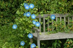 The Garden Bench - morning glories might be a great idea in the back corner garden! ♣ 12.2.22