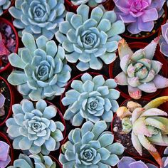 Perfect succulents ready to be planted. Photo by Dalla Vita.