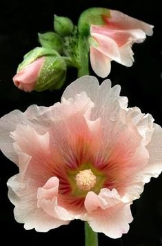 Hollyhock , lovely hibiscus like flowers and great colors.