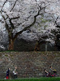 桜は、それ自体が醸し出す味わいもしばしば夢の様だけど、そこに居合わせた人達もさりげなく、否応なしにちょっぴり違う次元に連れてゆく、ように思う。   ことさら花を眺めているワケではない人達をも、ゆったりと時に足早に、変化し続ける桜は巻き込んで、その瞬間だけの愛おしい風景を出現させる。私達を楽しませる四季の様々な変化の中でこういう'魔法'が使えるのは桜だけかもしれない。   兼六園下から石川橋をくぐって広坂方面へ向かう人達、次の目的地に向かうのか、そろそろ疲れてきて家路につこうとしているのかはたまた・・・ 2018年4月3日18時19分 Kanazawa, Scenery, Plants, Landscape, Plant, Paisajes, Nature, Planets