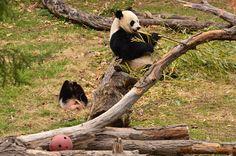 https://flic.kr/p/mHv24x | Bao Bao - Panda cub | 140402 cd 222