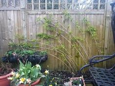 Image result for how to plant Raspberry Glen Ample