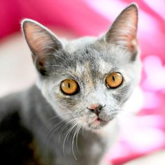 Pretty Kitty gray kitten with piercing golden eyes by briberrie, $25.80