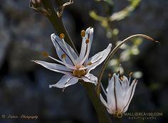 El asfódelo, varilla de San José, gamoncillo o gamón blanco (Asphodelus albus) es una planta herbácea perenne nativa de la región mediterránea Chrysanthemum, Flowers, San Jose, White People, Chrysanthemum Morifolium