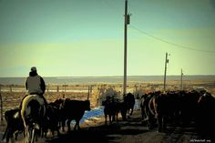 Oak  City ,  Utah  Cattle  drive 2015