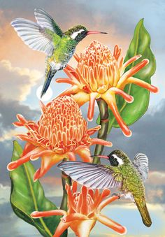 White Eared Hummingbirds With Torchginger by Rosiland Solomon