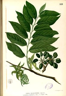 Cananga odorata - encyclopedia article about Cananga odorata.// Ylang-ylang is from the bark; came across it in an article on perfume and the name sucked me in. Cananga odorata illustrated in Francisco Manuel Blanco's Flora de Filipinas