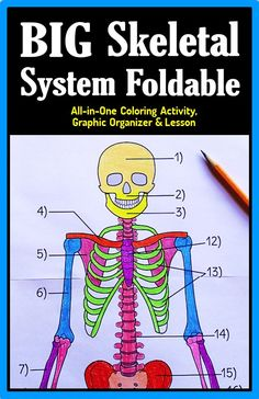 Gr.6-12.  Get students to love learning the names of the bones of the human skeleton with this large skeletal system foldable. It comes in various options for differentiation. It's great for coloring, labeling and displaying around the classroom. When complete, it is a perfect graphic organizer to help students review for tests or quizzes.