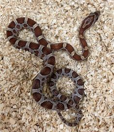 Corn Snakes For Sale - BHB Reptiles   BHB Reptiles Corn Snakes For Sale, Breakfast Nook Dining Set, Shadow Dragon, Pet Snake, Beautiful Sofas, Homemade Dog Food, Reptiles And Amphibians, Dog Training Tips, Insects