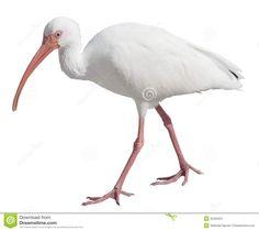 white-ibis-22322521.jpg (1300×1157)