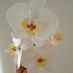 Sugar Phalaenopsis Orchids.