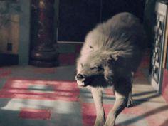 Werewolf Girl, Werewolf Hunter, Anime Wolf, Fantasy Wolf, Fantasy Art, Fantasy Creatures, Mythical Creatures, Wolf Hybrid, Twilight Wolf