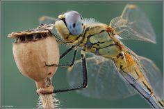 Dragonfly with poppy seedhead.