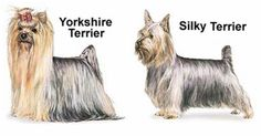 Differences between Yorkshire Terrier and the Silky Terrier