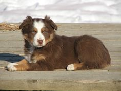 Red Tri Aussie...pup #3 @paigesigman93 GET READY FOR SO MUCH LOVINS! We gotta get Ratt raised first...