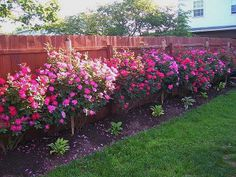 """Fence line of beautiful """"Knock Out Roses""""."""