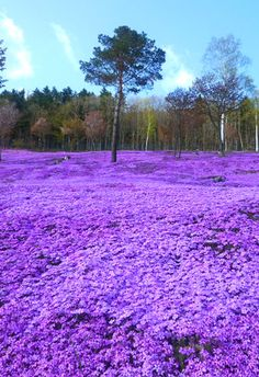 Takinoue Park, Japan The moss phlox flower and its unique sweet scent inspire excitement in the hearts of Hokkaido's people. This is because the appearance of the moss phlox flower heralds the true beginning of spring, telling the people of Hokkaido that it's not cold anymore. So this 10,000 square metre park filled with moss phlox flowers is a truly amazing and awe-inspiring sight. from Iryna