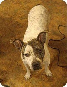 Fort Wayne, IN - Pit Bull Terrier Mix. Meet Roxanne, a dog for adoption. http://www.adoptapet.com/pet/18360500-fort-wayne-indiana-pit-bull-terrier-mix