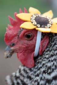 Chickens in tiny hats: Flower chicken fashion