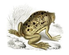 Natural History Toad Image - Odd! - The Graphics Fairy