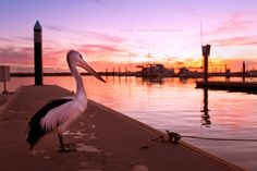 Pelican on sunset, Australia by Robert Lang Photography, via Flickr