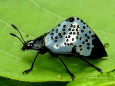 Pleasing Fungus Beetles (Gibbifer sp.), Erotylidae, Los Cedros Biological Reserve, Ecuador, Andreas Kay