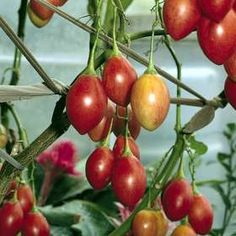 """Tomate de arbol: I had these in Ecuador! Translates to """"tomato tree."""" What I would give to taste one of these again! Fruit Garden, Tropical Garden, Tomato Tree, Colombian Cuisine, Fruit Tattoo, Fruit Seeds, Latin Food, Planting Seeds, Fruits And Vegetables"""