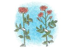 """Rosen haben den Ruf sehr anspruchsvoll zu sein und werden auch als """"Königinnen der Blumen bezeichnet"""", doch mit der richtigen Pflege und einigen nützlichen Tipps und Tricks erfreut sich auch Ihr Garten einer üppigen und farbenfrohen Rosenpracht."""